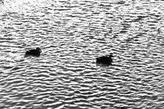 Patos que nadan en el río Fotos de archivo libres de regalías