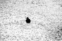 Patos que nadan en el río Imágenes de archivo libres de regalías
