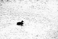 Patos que nadan en el río Fotografía de archivo libre de regalías