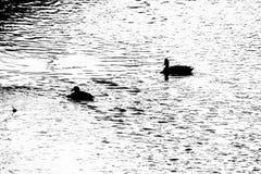 Patos que nadan en el río Foto de archivo libre de regalías