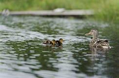 Patos que nadan en la charca Foto de archivo libre de regalías
