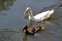 Patos que nadan en la charca Imagenes de archivo