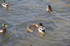 Patos que nadan en la charca Pato salvaje del pato silvestre Patos machos y hembras Fotos de archivo libres de regalías