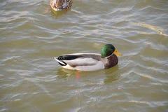 Patos que nadan en la charca Pato salvaje del pato silvestre Patos machos y hembras Imagen de archivo libre de regalías