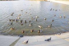 Patos que nadan en la charca Pato salvaje del pato silvestre Patos machos y hembras Imágenes de archivo libres de regalías
