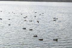 Patos que nadan en la charca Pato salvaje del pato silvestre Patos machos y hembras Imagen de archivo