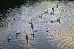 Patos que nadan en un lago Fotos de archivo libres de regalías