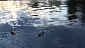 Patos que nadan en un río 4K metrajes