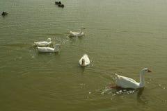 Patos que nadan en una charca de la granja Fotografía de archivo