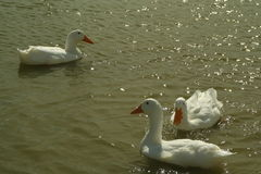 Patos que nadan en una charca de la granja Imagen de archivo