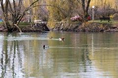 Patos que nadan en una charca rural Foto de archivo