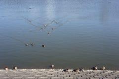 Patos que nadan hacia usted Imagenes de archivo