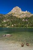 Patos que nadan. P.N.Aiguestortes, los Pirineos, España. Imagen de archivo