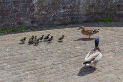 Patos que parenting sobre seus patos do beb? em uma parede fortificada da cidade em Maastricht fotos de stock
