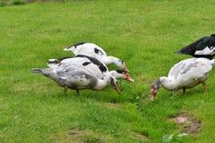Patos que pastan la hierba fotos de archivo