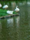 Patos que pierden vida en una isla fotos de archivo