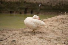 Patos que se limpian soporte en la charca cercana de tierra Sce del campo Foto de archivo libre de regalías