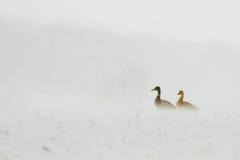 Patos que se sientan en ventisca Imagen de archivo libre de regalías