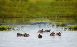 Patos que se zambullen en un lago Imágenes de archivo libres de regalías