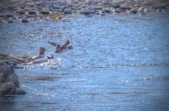 Patos que toman vuelo en el río Arkansas en el parque de estado del pueblo del lago, Colorado Foto de archivo