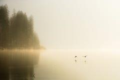 Patos que voam sobre o lago nevoento fotografia de stock