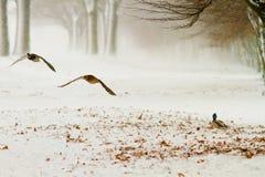 Patos que vuelan cerca Imagen de archivo libre de regalías
