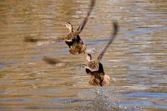 Patos que vuelan junto Fotografía de archivo libre de regalías