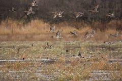 Patos rojizos del otoño Foto de archivo