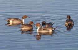 Patos rojizos septentrionales Imagenes de archivo