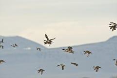 Pato rojizo septentrional Fotografía de archivo libre de regalías