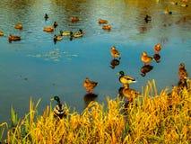 Patos salvajes Imágenes de archivo libres de regalías