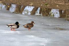 Patos salvajes Imagen de archivo libre de regalías