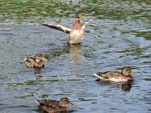 Patos salvajes Fotografía de archivo libre de regalías