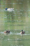 Patos salvajes Foto de archivo libre de regalías