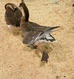 Patos salvajes Fotos de archivo