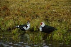 Patos salvajes Fotos de archivo libres de regalías