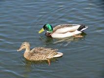 Patos salvajes coloridos Fotografía de archivo