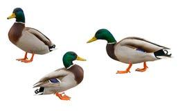 Patos salvajes de los Drakes Foto de archivo libre de regalías