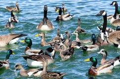Patos salvajes de los pájaros de New México, ganso y aves acuáticas de los gansos en el bl foto de archivo libre de regalías