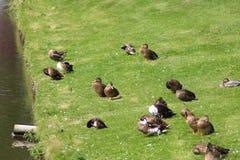 Patos salvajes del grupo Fotografía de archivo