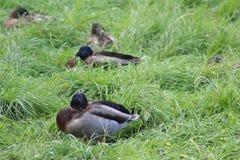 Patos salvajes del grupo Fotografía de archivo libre de regalías