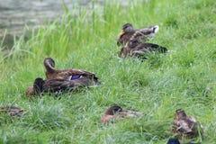 Patos salvajes del grupo Foto de archivo