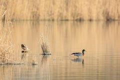Patos salvajes del pato silvestre de los pares Imagen de archivo libre de regalías