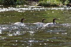 Patos salvajes del pollo de agua Foto de archivo libre de regalías