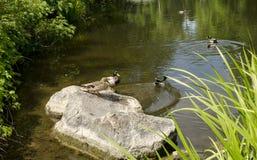 Patos salvajes en el lago Fotografía de archivo libre de regalías