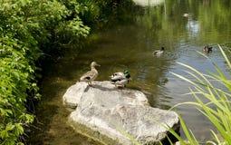 Patos salvajes en el lago Imagen de archivo libre de regalías