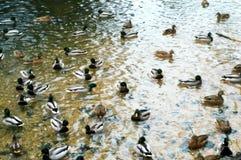 Patos salvajes en el lago winter fotos de archivo