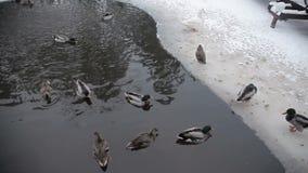 Patos salvajes en el río del invierno almacen de video