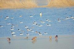 Patos salvajes en el río del invierno fotos de archivo libres de regalías