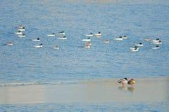 Patos salvajes en el río del invierno fotografía de archivo